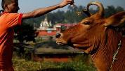 cow-legal guardians